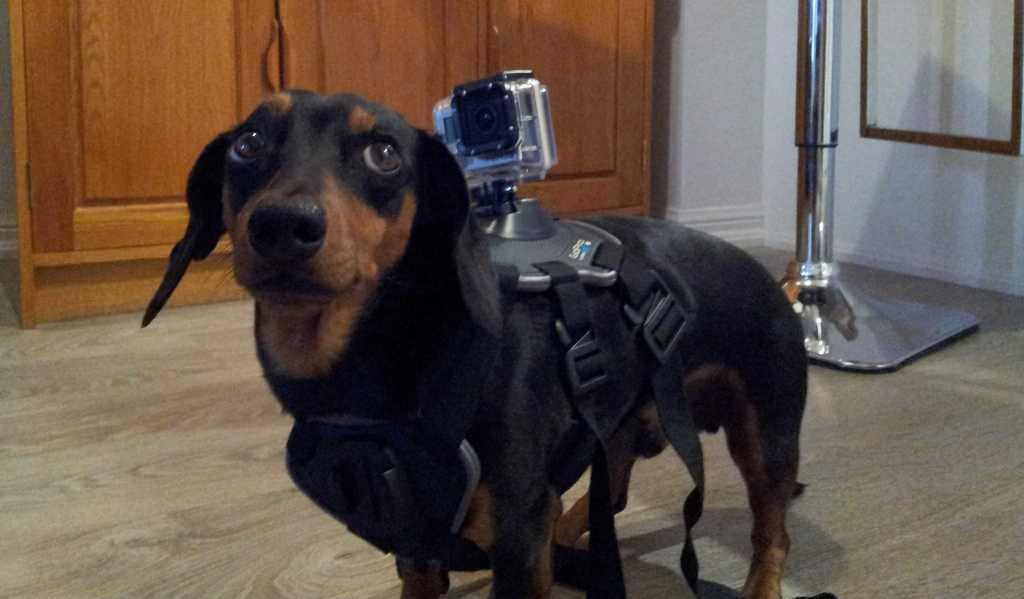 Frankie the wiener dog isnt sure if he likes his new toy, the Go Pro Fetch dog harness.
