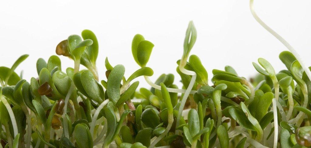 alfalfa sprouts on white