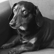 SVG's Chief Daschund Officer Frankie
